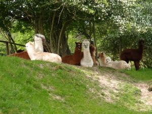 """Die Lamas schauen uns ungläubig hinterher als wir den ungewöhnlichen """"Zeltplatz"""" auf dem Uhu verlassen"""